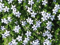 Ground covers & no-mow lawn plants