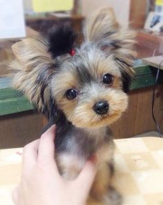 All About The Yorkshire Terrier Puppies Exercise Needs Miniature Yorkshire Terrier, Toy Yorkshire Terrier, Yorkshire Terrier Haircut, Miniature Schnauzer Puppies, Schnauzer Puppy, Yorkie Puppy, Yorkie Hairstyles, Yorshire Terrier, Dog Haircuts