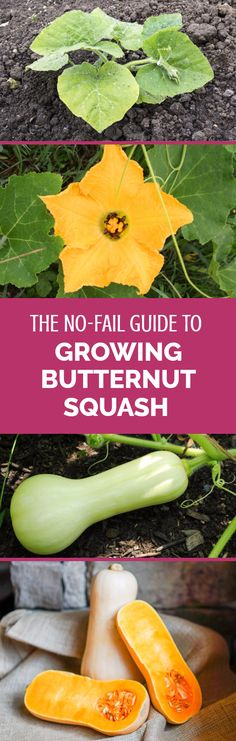 Growing butternut squash is one of the easiest things possible when you follow some simple rules. If you're wondering how to grow butternut squash then this detailed guide shows you everything you need to know. A must-read article for all gardeners, even for beginners at growing vegetables.