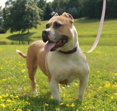 Stunning!  That is the word to best describe Ella.  Short, stocky, well built with great proportions.  And her coloring....it is called blue/fawn because it is fawn with blue undertones.  You can see it in the photos around her eyes.  Just a real...