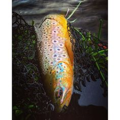 Fishing Photography, Brown Trout, Freshwater Fish, Fly Fishing, Fresh Water, America, Usa, Illustration, Photos