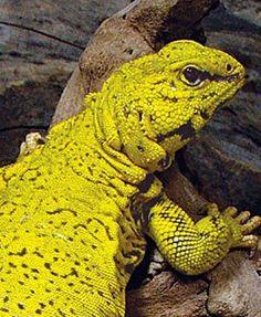 Uromastyx Lizard Care Sheet