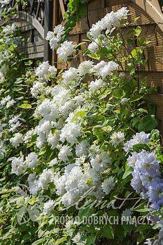 Clematis 'Maria Skłodowska Curie'PBR Central Bar, White Clematis, Pink Bar, New Growth, Trellis, Pale Pink, Blue Flowers, Perennials, Gardens