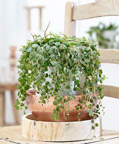 Hängande pepparväxt