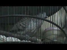 Video Burung Perkutut Manggung