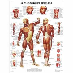 VR5118UU: A Musculatura Humana, 50x67 cm, Versão Papel