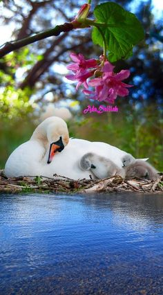A lover of music and art in all its forms, animals and nature. Beautiful Swan, Beautiful Birds, Animals Beautiful, Beautiful Things, Nature Animals, Animals And Pets, Cute Baby Animals, Funny Animals, Swans
