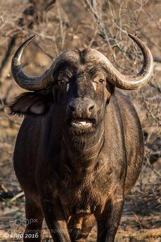 Enkoveni Buffalo 3 by khfechter #animals #animal #pet #pets #animales #animallovers #photooftheday #amazing #picoftheday