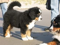 Bernese mountain dog. omg. want!