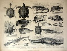 1859 Antique print of different species of by LyraNebulaPrints, $45.99