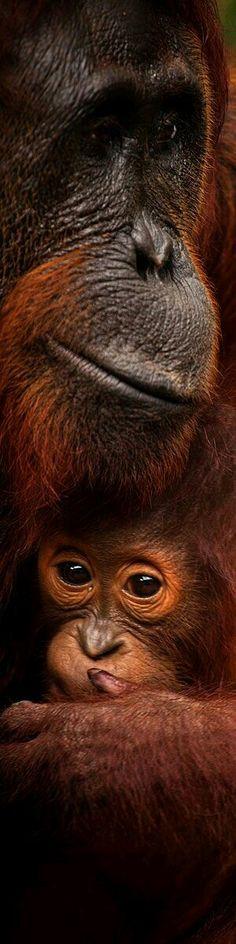 Orangutans Mother with Her Baby..