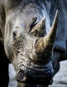 Beautiful Rhino | follow @sophieeleana