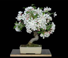 Malus 'Evereste', Zier-Apfel, Bonsai in voller Blüte