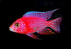 african cichlids peacock | Posted by: // Cichilds Fish // September 4, 2013