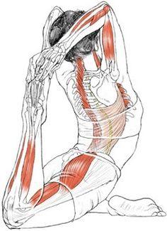 yoga anatomy on pinterest  yoga side plank and camels