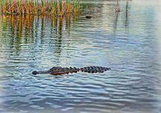 Swimming Trunk by Hanny Heim #aligator