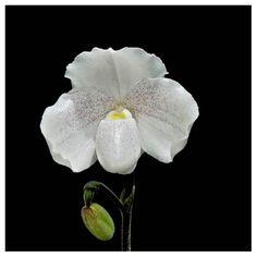 #paphiopedilum-niveum-orchids-buy #buy #kerala