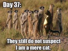 Love meerkats (and mere cats)