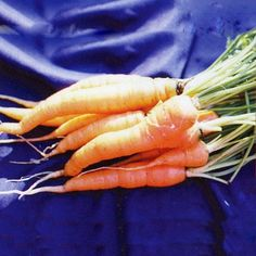 The tender roots of the Rouge Demi-Longue de Chantenay Carrot are a beautiful deep orange and have an exquisite flavor.  Also called Red-Cored Chantenay for the brilliant scarlet color of its core, it is considered superb for canning, freezing, or eating fresh.  Approximately 115-120 seeds per packet. Autumn Garden, Easy Garden, Alpine Strawberries, The Rouge, Carrot Seeds, Growing Veggies, Herb Seeds, Gardening Tips, Gardening Vegetables