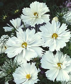 Cosmos, Psyche White. Extra large cosmo blossoms on vigorous plants, ideal for cutting. 1 pkt (50 seeds) $4.95.