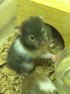 This is Globs he is my baby syrian hamster! i cant wait for him to get here!
