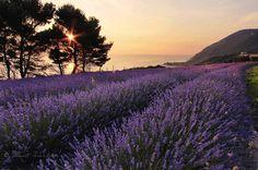 #lavanda #lavender #flowers #violet #sea #morning #igers #ig_italia #volgoitalia #volgomarche #destinazionemarche #destinationearth #1x #nationalgeographic #natgeo #Italy #Italia #iloveitaly #traveldestination #traveligram #yallersitalia #marchetourism #marche #rivieradelconero #amazing #beautifullandscape by ionut_burloiu