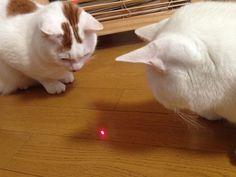hey.Tama... i will get it... hey Umi! thats mine...  #cat #pet #petsitter #setagayaku #cute #かわいい #猫 #白猫