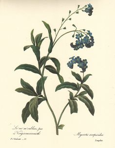 Vintage Botanical Flower Art Print: Forget-Me-Not (Redouté). Antique botanical prints meticulously restored from century illustrations. Botanical Art at its absolute finest. Illustration Blume, Illustration Botanique, Botanical Illustration, Vintage Botanical Prints, Antique Prints, Botanical Art, Vintage Flower Prints, Antique Art, Art Floral