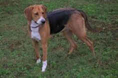 Image result for American Foxhound