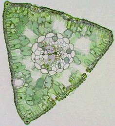 pine needle cross section