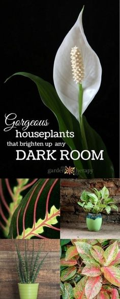 Gorgeous Indoor Plants that LOVE the Dark ! There are a number of beautiful indoor plants that do well in low light situations.These are also low maintenance and thrive on neglect!