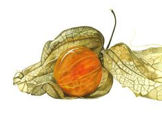 http://www.annaknights.co.uk/contempora ry_botanical_art/Anna_Knights_Contempora ry_Botanical_Art.html