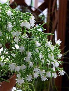 Versátil e belo o Rhipsalis ereto é uma cactácea sem espinhos originária da Argentina, Paraguai e Brasil, que deve ser cultivada em vasos com substrato, pois esta variedade