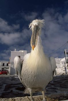 """Close portrait of a white pelican, the mascot of Mykonos Island."" by National Geographic"
