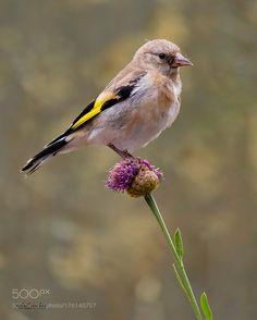 Jilguero - European goldfinch by Rafael_Sanchez_Sanchez. @go4fotos