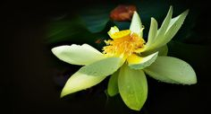 Ray Bilcliff - Paintography of the Lotus Flower
