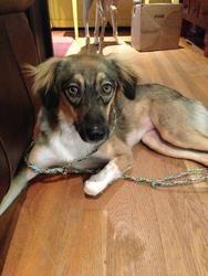 Coco: Saluki, Dog; McLean, VA
