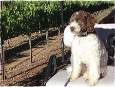 "Lagotto Romagnolo: the ""Truffle"" dog breed 