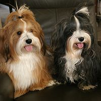 Havanese - a silky hypoallergenic dog with hair of silk that DOES NOT SHED but must be groomed.