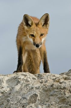 Juvenile Red Fox by Shayna Hartley**