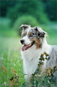Australian Shepherd by Mona Höhler Australian Shepherd Husky, Australian Shepherds, Aussie Shepherd, Shepherd Puppies, Aussie Puppies, Dogs And Puppies, Doggies, I Love Dogs, Cute Dogs