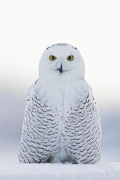 Snowy Owl - by: (John Vose)                                                                                                                                                      More