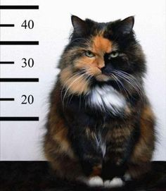 evil cat funny fail kitten | Kitty Criminal Cute Cat Pictures
