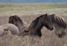 Image result for chevaux islandais