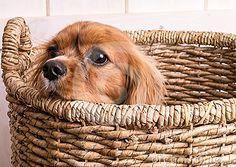 An adorably cute Cavalier King Charles Spaniel puppy in a woven laundry basket.