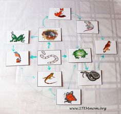 Sample Food Web: Free Food Chain Activity Cards from STEMmom.org