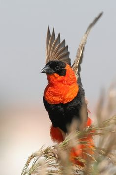 The Northern Red Bishop is a stocky 13–15 cm. bird. The breeding male is scarlet apart from his black head and waistcoat, and brown wings and tail. The conical bill is thick and black.  The non-breeding male is pale yellow streaked above and shading to whitish below. It has a buff supercilium. Females are similar, but smaller. Young birds have wider pale fringes on their flight feathers.