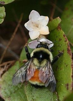 Bumblebees Active On Cool Mornings Buzzy Bee, I Love Bees, Bees And Wasps, Cute Bee, Bee Art, Bugs And Insects, Save The Bees, Bee Happy, Bees Knees