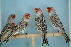 [IMG] Canary Birds, African Grey Parrot, Extinct Animals, Bird Watching, Bird Feathers, Beautiful Birds, Pets, Pictures, Painting