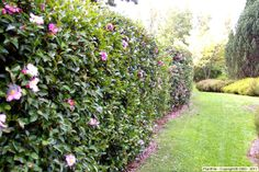 Camellia sasanqua hedge to cut down on dust from the road